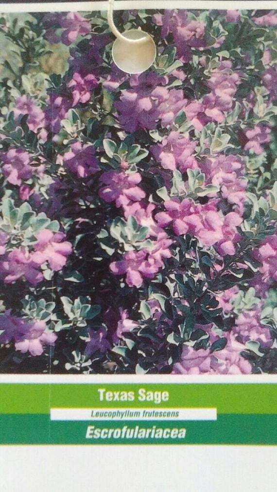 Texas sage shrub 3 gallon plant easy to grow plants purple flower texas sage shrub 3 gallon plant easy to grow plants purple flower home garden landscape evergreen bush hardy shrubs live healthy beautiful from mightylinksfo
