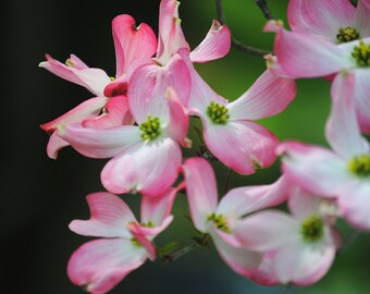 In the Pink - Pink Dogwood - Dogwood Blossoms - Fine Art Photograph by Kelly Warren