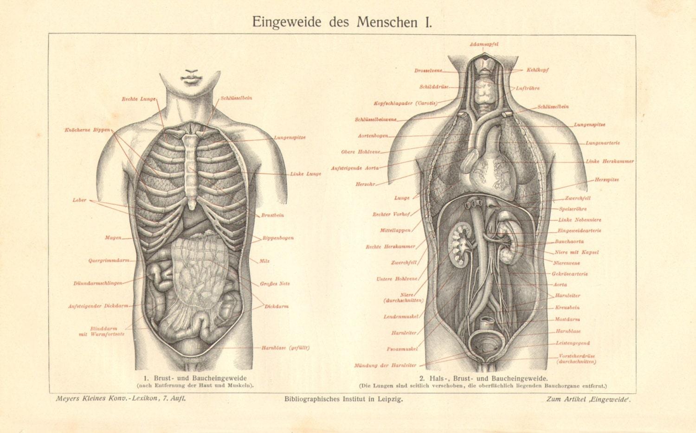 1908 borst en buikholte organen darmen ingewanden van het