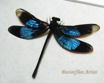 Sapphire Blue Real Dragonfly Damselfly Calopteryx Virgo Entomology Collectible In Shadowbox