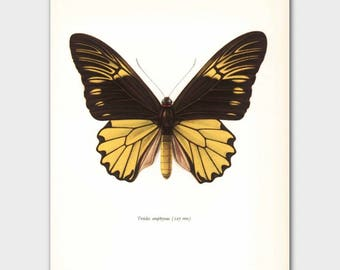 Butterfly Wall Art (Yellow Monarch Butterfly Print, 1960s Island Decor) --- Indonesia Birdwing No. 60-1