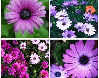 50X African Blue Eyed Daisy Seeds Osteospermum Ecklonis Cape Mix Flower Heirloom