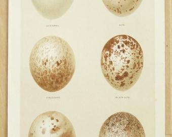 Antique Buzzard & Kite Bird Egg Print by Gronvold, c.1880 Original Antique Bird Egg Lithograph (5)