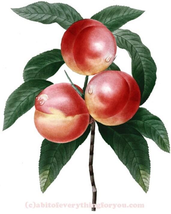 necturines fruit botanical art printable download digital image graphics downloadable garden nature artwork