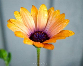 Dew Drops On Yellow African Daisy