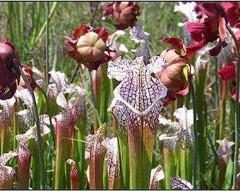 Pitcher plant 20 seeds - Mixed varieties. Sarracenia Mixed Seeds
