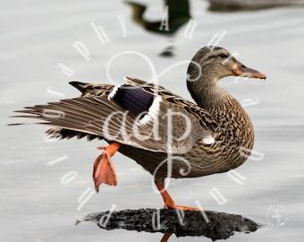 8x10 Duck Photo