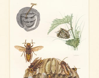 Vintage lithograph of red wasp, european hornet, saxon wasp, european wasp, median wasp from 1956