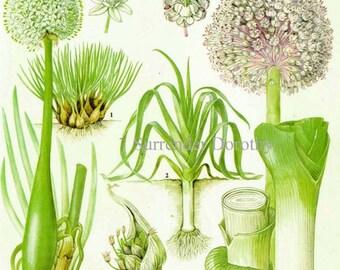 Shallot Leek Garlic Chart Vegetable Food Botanical Lithograph Illustration For Your Vintage Kitchen 169