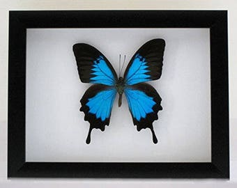 Papilio ulysses (Blue Mountain Swallowtail) Taxidermy Butterfly in Matted Shadow Box Frame - Wall Decoration