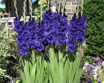 Gladiolus Blue Color Flower Bulb Perennial Summer Blooming