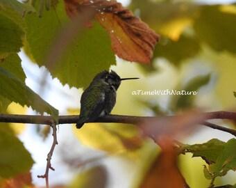Nature in Focus - 03 - Anna's Hummingbird