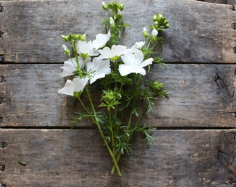 Malva Alba, organic seeds, heirloom seeds, flower seeds, organic gardening, flower garden, eco friendly, seed packet, wildflower seed