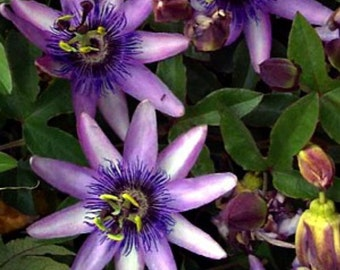 """Lavender Lady Passion Flower - Passiflora - Indoors/Out! - 4"""" Pot"""