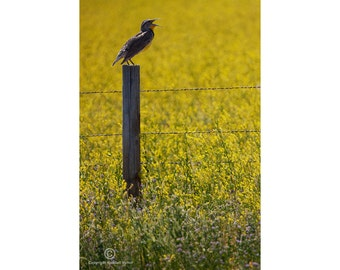 Meadowlark Singing on a Fence Post in a Field of Goldenrod Flowers by the Badlands in South Dakota No.0157 A Fine Art Bird Nature Photograph