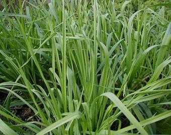Spring or Green Garlic, Gourmet Item