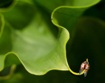 "Ladybug nature photography 8x10 print of ladybug on a leaf titled ""Ladybird Ready for Takeoff""."