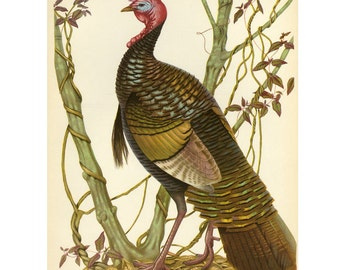 Eastern Wild Turkey Print Menaboni Book Plate SALE Buy 3, get 1 Free