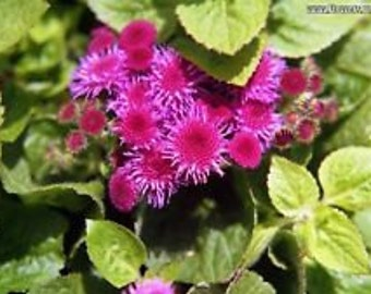 Shell Pink Ageratum Flower Seeds / Annual  50+