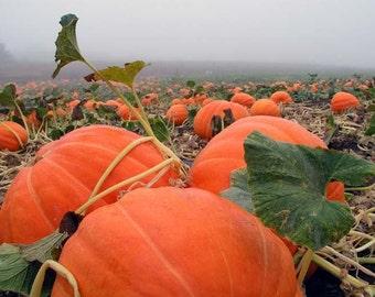Pumpkin seeds Hundred Pound Ukraine Heirloom Vegetable Seeds average #921