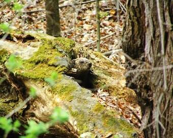 Woodchuck Photograph, Groundhog Photography, Animal Picture, Adirondack Wildlife, Nature Photography, Rodent Photograph, Wildlife Photo