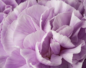 Lavender Carnations Macro Flower Photograph Matted to 12 X 12