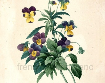 antique french botanical print purple and yellow pansy DIGITAL DOWNLOAD