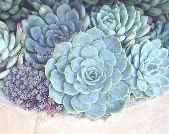 Succulents Photograph- Botanical Print, Nature Photography, Mint Green Blue Cream, Home Decor, Escheveria, Succulent Wall Art, Garden Art