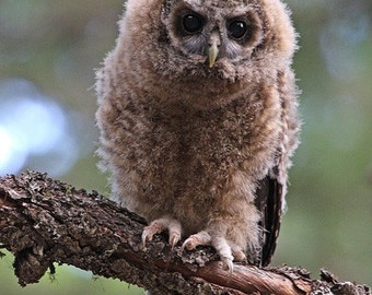 8x12 spotted owl fledgling - print only