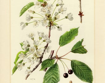 Vintage lithograph of wild cherry from 1958