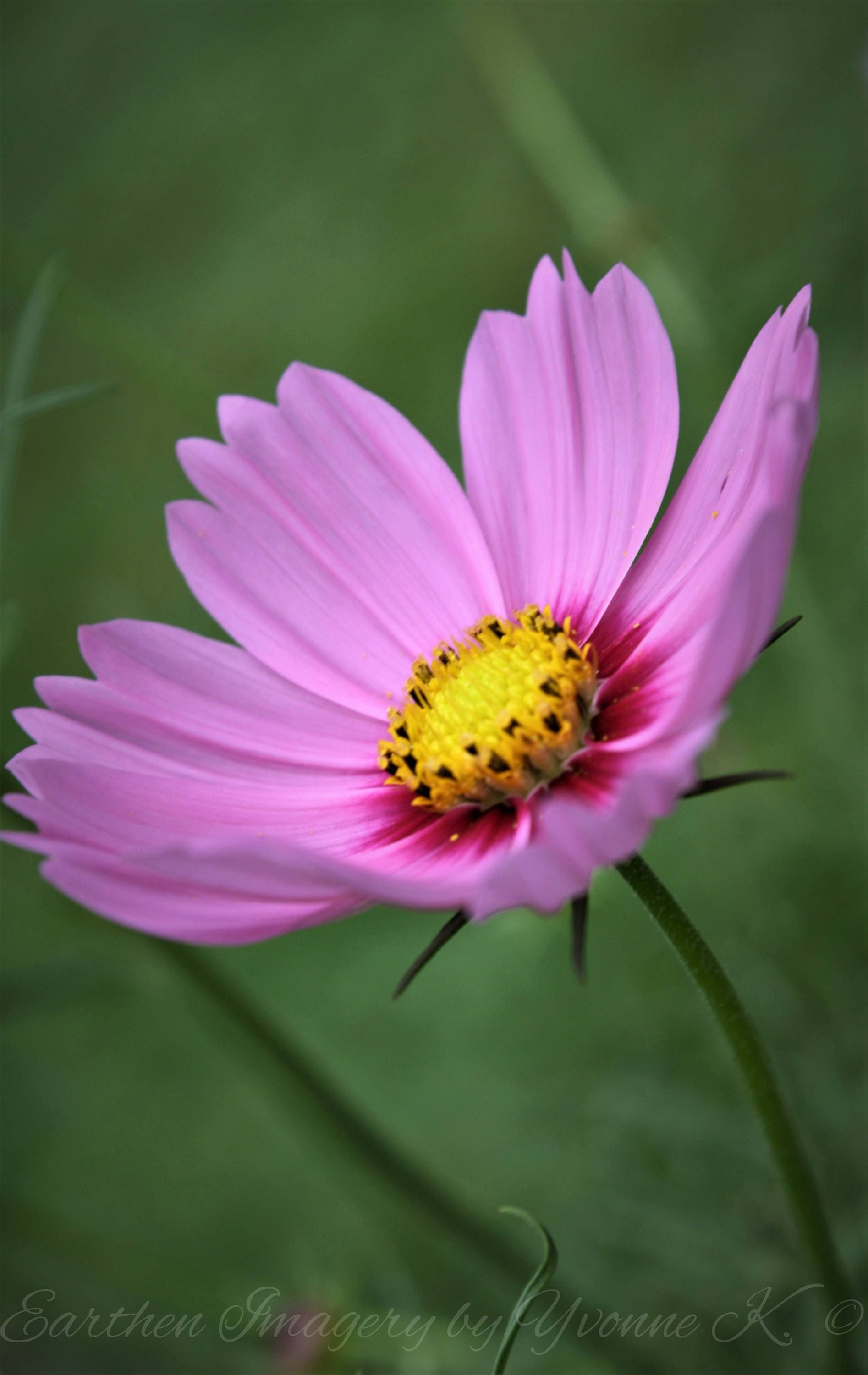 Pink Lady Cosmos Photography Hot Pink Flowers