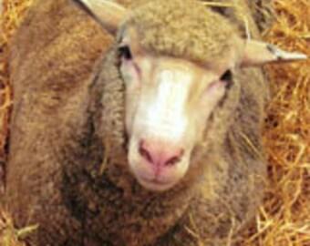 Gorgeous Targhee Ewe Raw wool fiber.