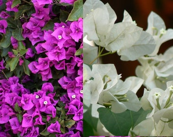 Bougainvillea Combined two different plants growing in the same pot