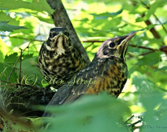 PHOTO CARD, Robins, bird decor, birds, song birds, Ellen Strope, note cards, blank note cards, baby birds, bird nests, photos, photo cards
