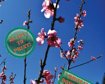 Pink Nectarine Blooms Photo Spring Flowers Digital Photography File