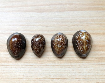 4 Beautiful Small Cowry Shells from Kona Hawaii (Snakehead Cowries, Hawaiian Shells, Jewelry Making Shells) 18041701