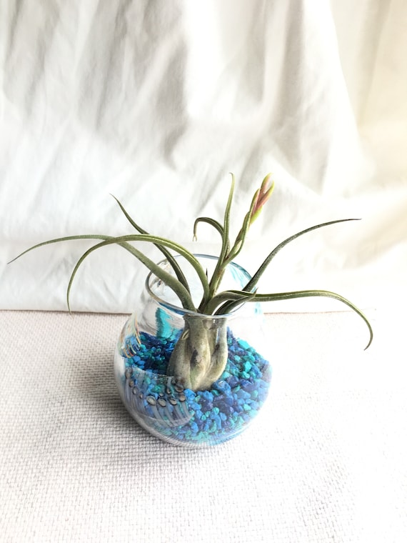 Hand blown glass vessel with air plant bromeliad