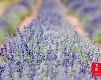 floral wall art | lavender wall print | botanical photography art | summer landscape art | wall art print women | lavender art photography