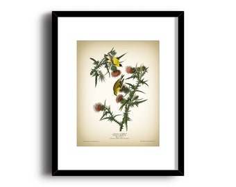 American Goldfinch Vintage Art Print - Natural History Art Print - Audubon Natural Art Print - Vintage Bird Art Print - Wall Art