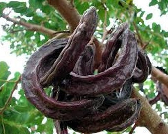 Carob Seeds, Wildcrafted, Ceratonia siliqua, Organic, Tree, Chocolate Substitute