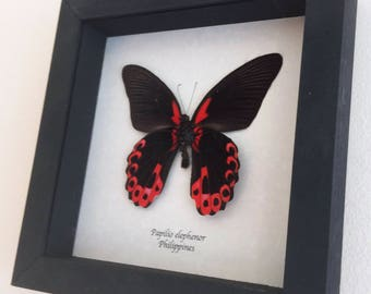 Real butterfly framed - Papilio elephenor