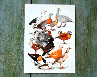 Bird Print - Ducks, Geese - 1968 Vintage Print - from Encyclopedia