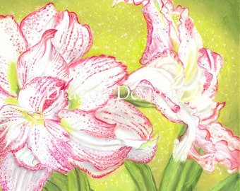 Red and White striped Amaryllis