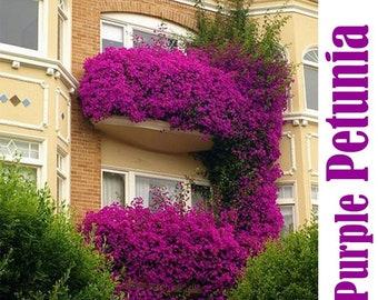 100% True Hanging Purple Petunia Flower Seed, 200 Seed/Pack, Fragrant Garden Ornamental Flowers-Land Miracle
