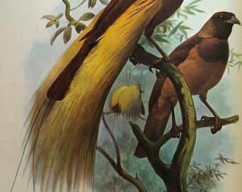 Birds of Paradise by Daniel Giraud Elliot, Monograph Bird Prints