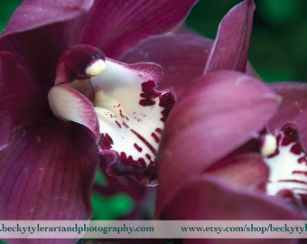 Cymbidium Orchid, Digital Photography, Fine Art Print Print