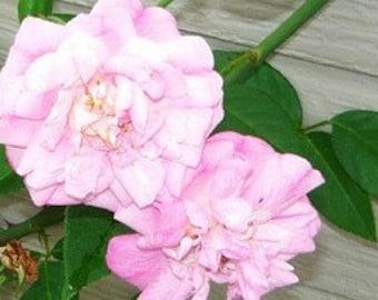 Rose - Old Blush Heirloom Live plant