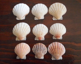 Natural Scallop Shells 50 count, ONE POUND Home Decor Summer Beach Theme Instant Collection