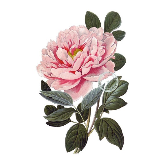 Tree Peony Clip Art Vintage Floral Clipart Botanical