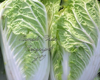 250 Chinese Cabbage Michihili Seeds Heirloom Non GMO Sweet Tender Vegetable Light Green